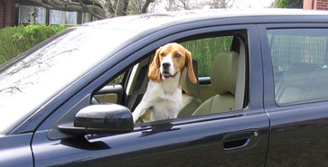 dog_in_car